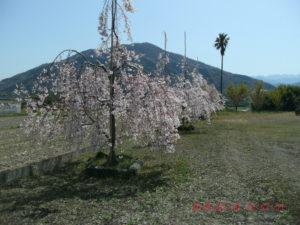 しだれ桜が並んでいました